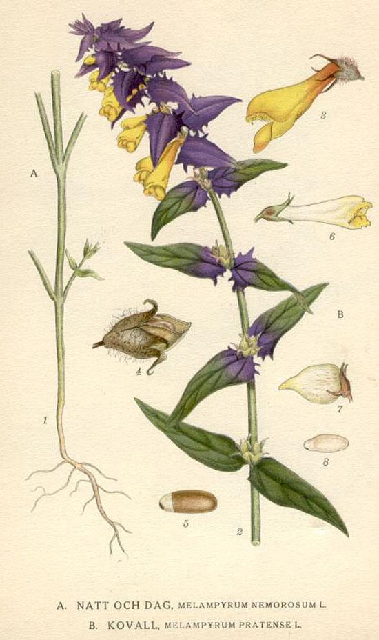 Лекарственные и магические растения Ivan_da_marya_8