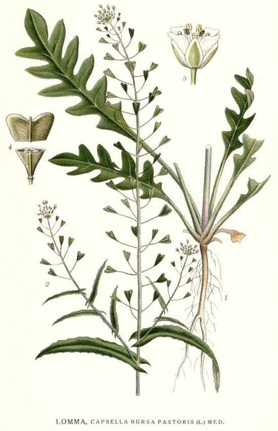 9e82132f4826 Заметки практикующего целителя -> Лекарственные растения - Пастушья ...